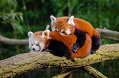 Panda Hugs! Royalty Free Stock Photos