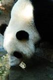 Panda Hydration imagem de stock royalty free