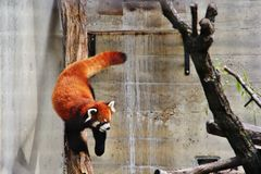 Panda i den Assiniboine zoo, Winnipeg, Manitoba Royaltyfria Foton