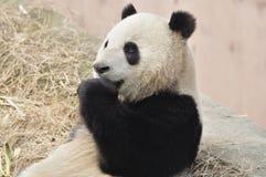 Panda i Kina Royaltyfri Foto