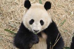 Panda i Kina Royaltyfri Bild