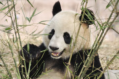 Panda i Kina Royaltyfria Foton