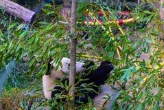 Panda i Schönbrunn-zoo, Wien Fotografering för Bildbyråer