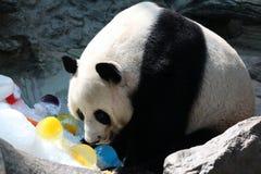Panda i Thailand fotografering för bildbyråer
