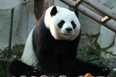 Panda i Thailand arkivbild