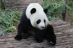 Panda i Thailand arkivbilder