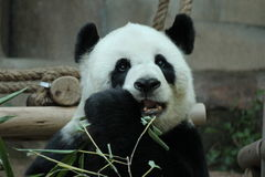Panda i Thailand royaltyfria foton