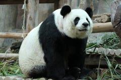 Panda i Thailand royaltyfri fotografi