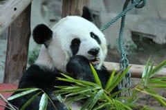 Panda i Thailand royaltyfria bilder