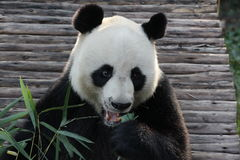 Panda i Thailand arkivfoton