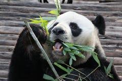 Panda i Thailand royaltyfri foto