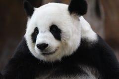 Panda i Thailand från den Chiangmai zoo arkivbild