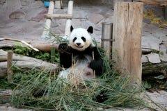 Panda i zoo Royaltyfria Bilder