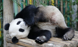 Panda im Malaysia-Staatsangehörig-Zoo Lizenzfreie Stockfotografie