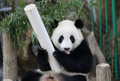 Panda im Malaysia-Staatsangehörig-Zoo Stockfotografie