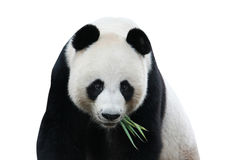 Panda isolada no branco Fotos de Stock