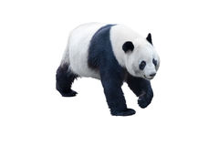 Panda isolated on white. With clipping path Royalty Free Stock Image