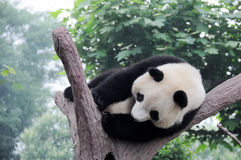 Panda jouant sur l'arbre Photos stock
