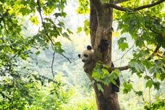 Panda joven que descansa en un árbol con un vuelo de la abeja por su nariz Fotos de archivo