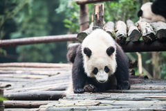 Panda in the jungle Royalty Free Stock Photography