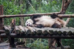 Panda in the jungle Stock Photography