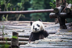 Panda in the jungle Royalty Free Stock Photos