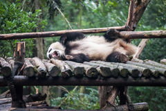 Panda in the jungle Royalty Free Stock Image