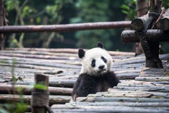 Panda in the jungle Royalty Free Stock Photo