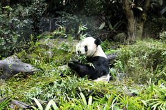 Panda. Located in Muzha, Taipei City Zoo is a few minutes' walk from the Taipei City Zoo MRT Station. It is considered as one of the largest zoos in Asia with stock photo
