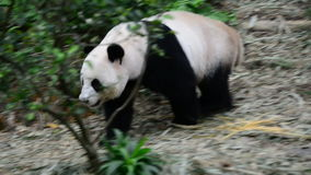 Panda looking for the food stock footage