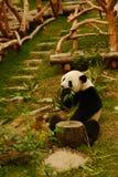 Panda mangeant des lames de bambou Images stock