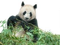 Panda mangeant des lames de bambou Photographie stock