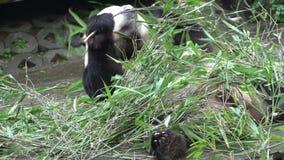 Panda mangeant et grabing le nouveau bambou tout en s'étendant sur le sien de retour à Chengdu Chine banque de vidéos