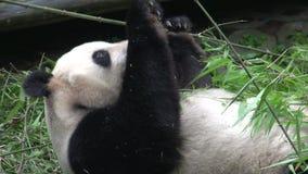 Panda mangeant et grabing le nouveau bambou tout en s'étendant sur le sien de retour à Chengdu Chine clips vidéos
