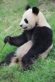 Panda mangeant le bambou Photos libres de droits