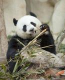 Panda mangeant le bambou Photographie stock libre de droits
