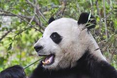 Panda mangeant le bambou Photo libre de droits
