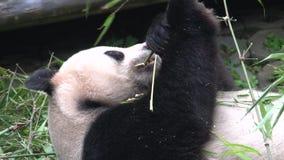 Panda mangeant le bambou tout en s'étendant sur le sien de retour à Chengdu Chine clips vidéos