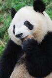 Panda mangeant le gâteau. Image libre de droits