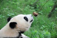 Panda mangeant le gâteau. Images libres de droits