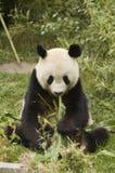 Panda met bamboe Royalty-vrije Stock Afbeeldingen