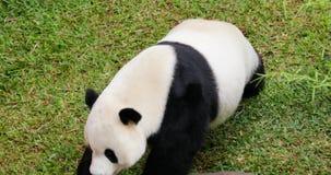 Panda mignon marchant au zoo