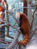 Panda minore Immagini Stock Libere da Diritti