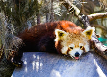 Panda minore Fotografia Stock Libera da Diritti