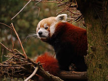 Panda minore Immagine Stock