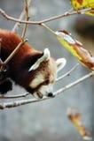 Panda minore fotografie stock