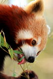 Panda minore che mangia con la linguetta lunga Fotografia Stock