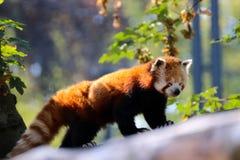 Panda minore che scala un albero nella foresta fotografia stock