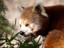 Panda minore, fulgens del Ailurus Fotografie Stock Libere da Diritti