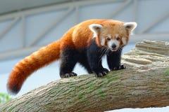 Panda minore pericoloso su un ramo Fotografie Stock